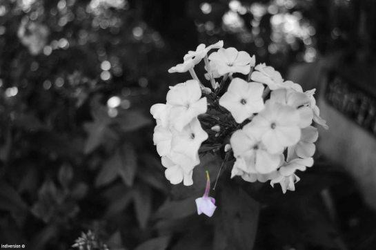 flower_black_withe
